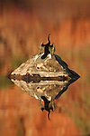 An Australian darter drys its wings in the sun after a dive, Mornington Sanctuary, Western Australia.