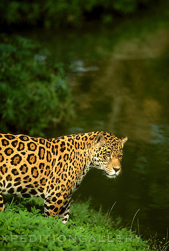 A lone jaguar with spotted fur searching for prey near a jungle pool of water. The jaguar (Panthera onca) is the largest of the big cats found in the New World. It is relatively rare throughout its range from Mexico to Argentina. Best known as a solitary denizon of tropical rainforests, jaguars also inhabit grasslands and scrub habitats where they are predators of deer, capybara and other animals. They frequent rivers and other aquatic environments. [captive animal]