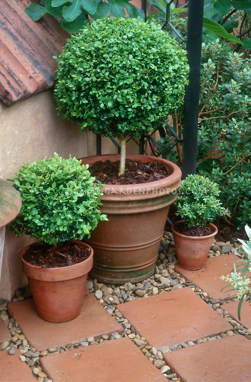 Boxwood Standards In Pots On Patio Plant Flower Stock Photography Gardenphotos Com
