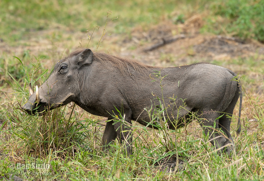 Central African Warthog, Phacochoerus africanus massaicus, in Tarangire National Park, Tanzania