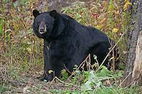 Large female Black Bear sitting near the underbrush