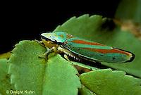 HO01-005c  Scarlet and Green Leafhopper - Graphocephala coccinea