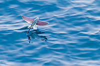 flying fish, unidentified, flying, Ascension Island, British Overseas Territory, South Atlantic Ocean