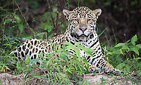 Unlike my first Pantanal visit, we saw a few different male jaguars this year.
