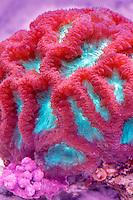 Blastomussa coral. Upscales store. Tualitin. Oregon