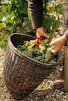 Europe/France/89/Yonne/AOC Chablis: Les vendanges de Jean Durup à Maligny - Grappes de raisins cépage Chardonnay - la Coupe