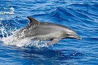 Common Bottlenose Dolphin, Tursiops truncatus, porpoising, maldives, Indian Ocean