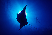 diver and reef manta ray, Manta alfredi, Big Island of Hawaii, USA, Pacific Ocean