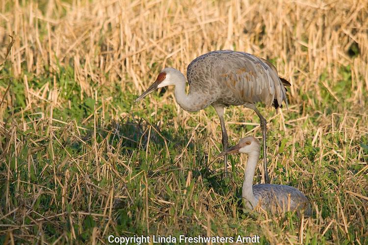 Sandhill crane family (Grus canadensis)