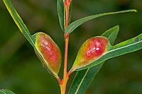 Weidengallenblattwespe, Weidengallen-Blattwespe, Weidenblattwespe, Weiden-Blattwespe, Galle an Purpurweide, Salix purpurea, Pontania vesicator