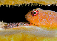 red clingfish, Arcos rubiginosus, guarding its eggs, Bonaire, ABC Islands, Netherlands Antilles, Caribbean Sea, Atlantic Ocean