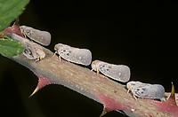 Bläulingszikade, Bläulings-Zikade, Metcalfa pruinosa, citrus flatid planthopper, Schmetterlingszikaden, Flatidae