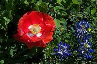 Wildflowers, Park Road 4, Burnet, TX