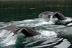 Humpback whales, Icy Strait, Alaska