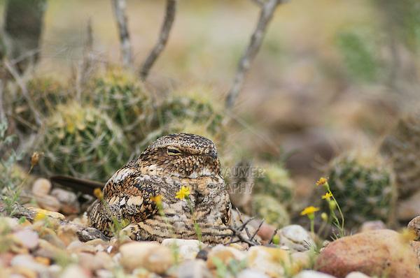 Lesser Nighthawk (Chordeiles acutipennis), adult on day roost, Laredo, Webb County, South Texas, USA