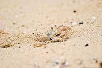 Crab emerges from the hole it dug in the sand at Pounders beach in Laie on the windward side of Oahu.