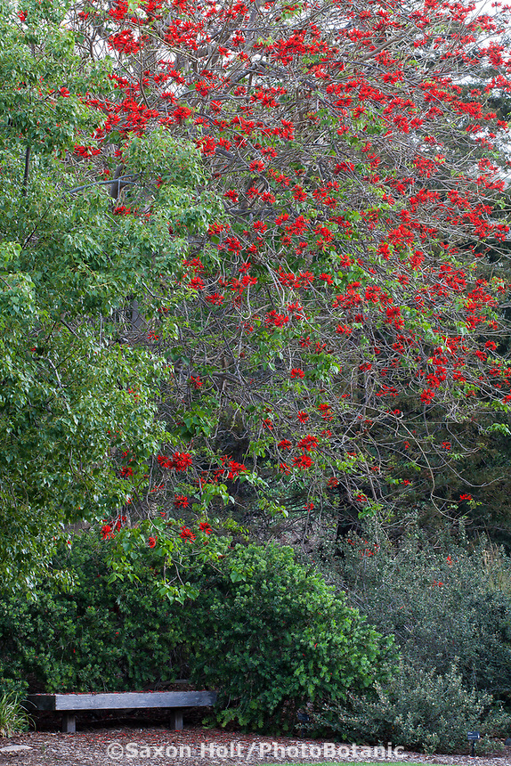Erythrina x sykesii - red flowering Australian Coral Tree in Leaning Pine Arboretum, California garden