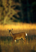 A White-Tailed deer (doe).