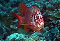 The long-jawed squirrelfish [Sargocentron spiniferum] is the largest representive of this family in the world. They are found throughout the Indo-Pacific. This individual was photographed in Hawaii.