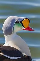 Portrait of a male king eider duck in breeding plumage, Arctic, Alaska.