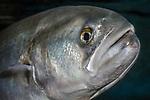 Bluefish close-up of face