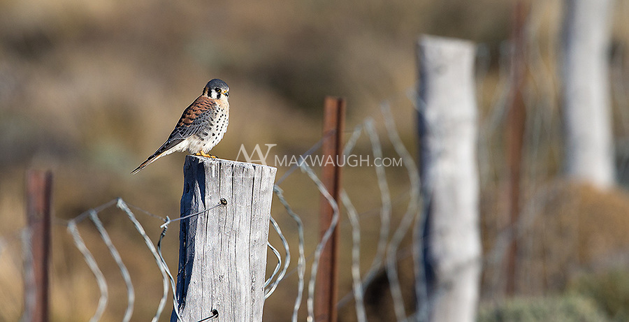 American kestrels are just as shy in Patagonia as they are in North America.