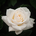 Rosa York Minster ['Harquest'), a floribunda in creamy white. From Harkness Roses.