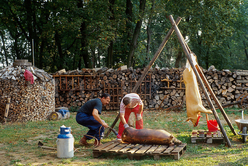 Residents of a village near Nitra butchering hogs. By tradition the process is begun at dawn and work continues untill all parts are processed, usually taking all day. 1032425. Beladice, Slovakia.