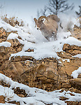 Bighorn, Yellowstone National Park, Wyoming