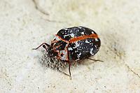 Teppichkäfer, Braunwurz-Blütenkäfer, Braunwurzblütenkäfer, Anthrenus scrophulariae, common carpet beetle, buffalo carpet beetle, Speckkäfer, Dermestidae, skin beetles