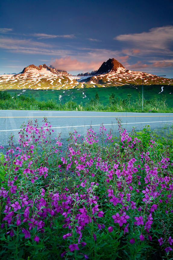 Fireweed in Thompson Pass,  Richardson Highway, Alaska.