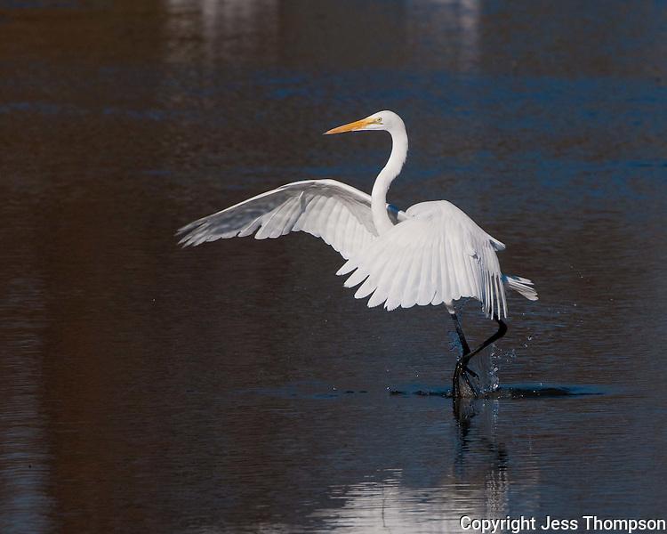 Great Egret, Inks Dam Fish Hatchery, Texas