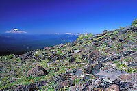 The snowy peak of Mount Rainier floats on the horizon, as seen from an alpine meadow above treeline on Mount Adams, near the Pacific Crest Trail in Washington. <br /> <br /> © Michael Forster Rothbart<br /> www.mfrphoto.com <br /> 607-267-4893 o 607-432-5984<br /> 5 Draper St, Oneonta, NY 13820<br /> 86 Three Mile Pond Rd, Vassalboro, ME 04989<br /> info@mfrphoto.com<br /> Photo by: Michael Forster Rothbart<br /> Date: 8/2003    File#:  color slide<br /> ----------<br /> Original caption:<br /> During July and August 2003, Mike and Amy Forster Rothbart hiked from Mt. Adams to near Mt. Rainier, backpacking on the Pacific Crest Trail in Washington State. Here, the icy peak of Mount Rainier appears to float on the horizon, as seen from an alpine meadow above treeline on Mount Adams.