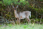White-tailed deer doe full view facing left in the Wompatuck State Park, Hingham, Massachusetts.