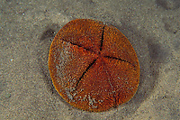 red heart urchin, Meoma ventricosa (echinoderm), emerges from sand at night to feed, Commonwealth of Dominica (Eastern Caribbean Sea), Atlantic