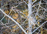 We saw two different grouse species, including a couple of individual Ruffed Grouse perched in trees.