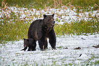Grizzly Bear mom with one of two cubs, Yellowstone National Park