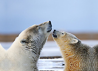 A polar bear cub nuzzles its mother on a barrier island outside Kaktovik, Alaska. Every fall, polar bears gather near the community, on the northern edge of ANWR, waiting for the Arctic Ocean to freeze. The bears have become a symbol of global warming.