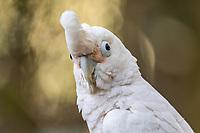 White Budgerigar Parakeets Tenikwa Wildlife Rehabilitation Centre, Plettenberg Bay, South Africa.
