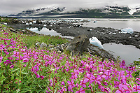 Dwarf fireweed, ice bergs, Harriman Fjord, Prince William Sound, Alaska