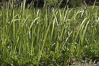 Kalmus, Acorus calamus, Calamus, Flag Root, Sweet Myrtle, Acore odorant