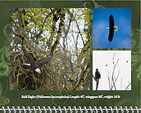 """August of the 2014 Birds of a Feather Calendar. Photo is called """"Bald Eagle Out of the Nest"""" and """"Eagle Dreams"""" and """"Bald Eagle Blue Sky Soar"""".  An adult Bald Eagle (Haliaeetus leucocephalus) has it's wings spread as it drops out of it's large nest with a small chick barely seen in the nest among the tall trees in the Ridgefield National Wildlife Refuge"""