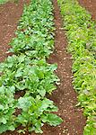 Monticello. Thomas Jefferson estate vegetable garden. Lettuce