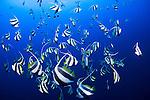 A school of schooling bannerfish, Heniochus diphreutes, Layang Layang, South China Sea, Sabah Province, Borneo Island, Malaysia, Pacific Island