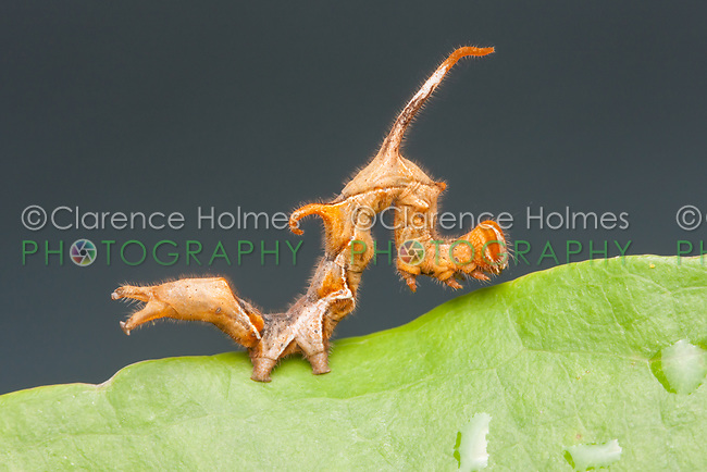 A Curve-lined Owlet Moth (Phyprosopus callitrichoides) caterpillar on a Greenbrier Leaf.