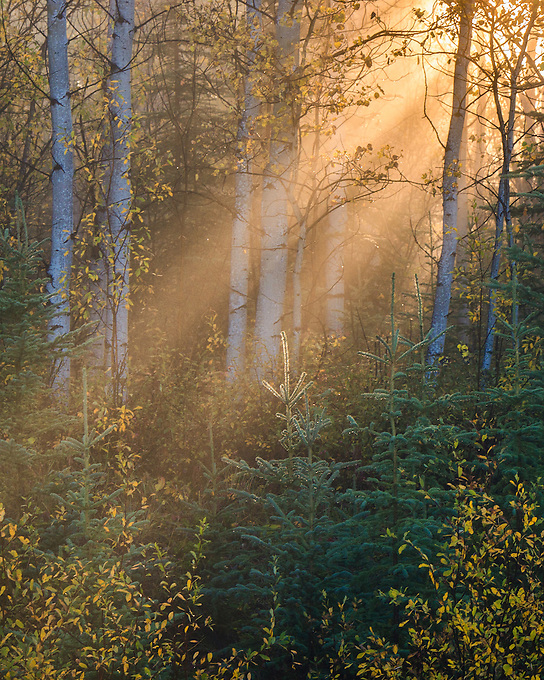 The sun beams through a misty display of fall foliage in the Yukon Territory.