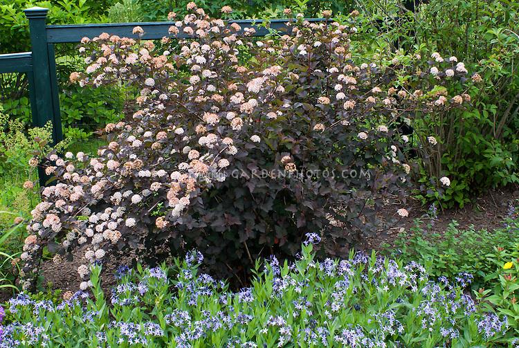 Physocarpus Diablo & Stachys macrantha in late spring bloom, June, blue flowered Amsonia taberaemontana hybrid Blue Ice