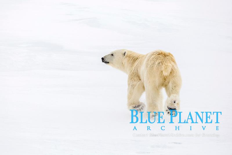 Mother and calf polar bear, Ursus maritimus, on first year sea ice in Olga Strait, near Edgeoya, Svalbard, Norway