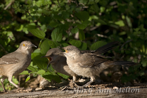 Curve-billed thrasher chick and mom, Toxostoma curvirostre, on the ground under a suet feeder. Lake Tanglewood, Texas