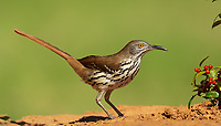 Long-BIlled Thrasher standing on ground in front of red berry plant